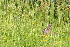 Peeping Bunny (oandrews) Tags: animal bunny canon canon70d canonuk nature naturereserve northamptonshire northants oryctolaguscuniculus outdoors rabbit summerleys wildlife wildlifetrusts wildlifebcn wollaston england unitedkingdom gb