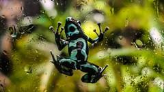 frog - 2 (YᗩSᗰIᘉᗴ HᗴᘉS +17 000 000 thx) Tags: frog fauna faune pairidaiza hensyasmine namur belgium europa aaa namuroise look photo friends be wow yasminehens interest intersting eu fr greatphotographers lanamuroise tellmeastory flickering
