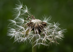 Macro Mandays - All Natural (billd_48) Tags: macromondays allnatural ohio spring cmp jacksonfield nature flowers seeds macro dandelion macromondaysallnatural