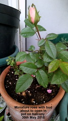 Miniature rose with bud about to open in pot on balcony 30th May 2018 (D@viD_2.011) Tags: miniature rose with bud about open pot balcony 30th may 2018