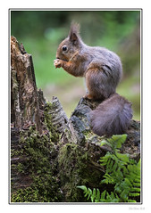 King of The Stump (Seven_Wishes) Tags: lockerbie eskrigg outdoor photoborder jo canoneos5dmarkiv sigma150600mmf563dgoshsmcontemporary eskriggnaturereserve animals wildlife nature dof depthoffield rodent mammal redsquirrel squirrel woodland edoliverphotography 2018 animal wood tree stump foliage views2k
