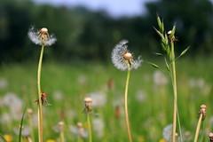 Dandelions and other weeds... (Ce Rey) Tags: 7dwf weed weeds yuyos malahierba maleza malezas dandelion dandelions panadero dientedeleon naturaleza plantas nature green bokeh challengeyouwinner cyunanimous