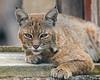 Bobcat (Lynx Rufus) (wlb393) Tags: bobcat lynxrufus wildcat mammal livermore s8s2293