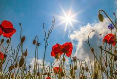 Mohnblüte im Sonnenglanz (oblakkurt) Tags: mohn sonnenstimmungen blumen pflanzen