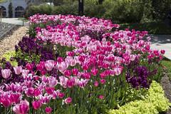 Pink Flowers (dckellyphoto) Tags: washingtondc washington districtofcolumbia dc 2018 hillwoodestate pink