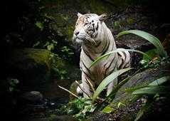 A White Tiger (henriksundholm.com) Tags: animal tiger whitetiger zoo singaporezoo nature vignette stream water whiskers portrait fur rocks moss plants sticks 200mm singapore southeast asia