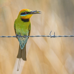 rainbow bee eater (Fat Burns ☮) Tags: rainbowbeeeater meropsornatus beeeater bird australianbird fauna australianfauna oxleycreekcommon nikond500 sigma150600mmf563dgoshsmsports sigmatc140114xteleconverternik