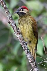 Colaptes rubiginosus (Wildlife and nature - Colombia) Tags: woodpecker colaptesrubiginosus goldenolivewoodpecker carpinterocariblanco carpintero