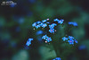 Bits of Blue (Hi-Fi Fotos) Tags: blue flowers shade plant outdoor nature flora small tiny delicate spring nikkor 40mm micro nikon d7200 dx hififotos hallewell