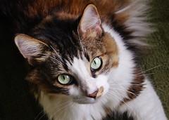 A Not So Wild Cat - My Gizmo (Susan Roehl) Tags: southwestflorida usa gizmo feline unknownbreed sevenyearsold longhair greeneyes quitelarge sueroehl photographer panasonic lumixdmcgx8 12x35mmlens handheld slightlycropped funupload coth5