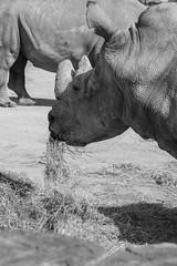 Zoo 20 (fascinating-ladybird) Tags: pairidaiza belgium zoo animals mammal blackwhite rhinoceros rhino whiterhinoceros whiterhino