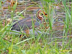 Garza imperial (Ardea  purpurea) (72) (eb3alfmiguel) Tags: aves acuaticas ciconiiformes ardeidae de garza imperial ardea purpurea pájaros hierba pájaro animal agua