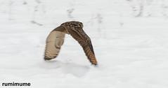 Canadian Raptor Conservatory (rumimume) Tags: potd rumimume 2018 niagara ontario canada photo canon 80d sigmacanadian raptor conservatory bird winter outdoor birdofprey snow fly flight