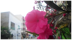 The contrast (Guilherme Alex) Tags: flower pink rose leaves tree wood leaf leafs buildings contrast street cityscape wild landscape focus macro window green white cloudyday urban urbanization daybyday garden petals nature natural naturaleza cute beautiful frame mid unique found exploring composition angle perspective amateur small samsung digitalcamera art world teófilootoni minasgerais brazil city citylife citycenter mycity mylife walking around sunday