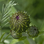 verdant sphere