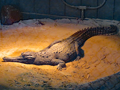Crocodile On The Sand. (dccradio) Tags: hamlet sc southcarolina dillon dilloncounty inside indoors southoftheborder touristattraction reptilelagoon crocodile reptile animal creature tail zoo slendersnoutedcrocodile crocodyluscataphractus centralafrica westernafrica criticallyendangered sand dirt