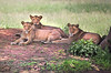 Lion Pride (ashockenberry) Tags: lion landscape lioness cat feline predator predators nature naturephotography national park conservation wildlife wildlifephotography wild wilderness mammal africa ashleyhockenberryphotography african animal eco safari savanna tanzania travel tarangire tourism beautiful majestic