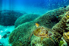 Chasing turtles (jan_clewett) Tags: turtle green heronisland coral snorkelling