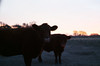 Cow (regojoagustina) Tags: campo diadecampo la pampa chancho pig cow vaca crepúsculo atardecer girl littlegirl field pentax k1000 pentaxk1000 film filmisnotdead 35mm pelicula vintage