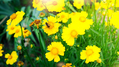 A bee on yellow daisy flower, in garden (lyule4ik) Tags: bee honey flower blossom spring nectar yellow insect pollen busy garden macro nature outdoors plant summer wild beauty close daisy season up wing animals asteraceae collect freshness petal pollination small tranquil vibrant wildflower color bug animal background bright floral hive honeybee pollinating collecting colour distribute distributing gathering outside pollinate pollinator