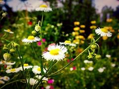 Allotment (marionvankempen) Tags: atmosphere colour allotment flower throughherlens flowers