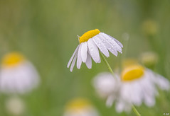 Camomile with Dewdrop (Martine Lambrechts) Tags: camomile with dewdrop flower nature macro morning
