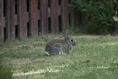 Looking Alert (steve_whitmarsh) Tags: kintore aberdeenshire scotland animal rabbit garden wildlife nature topic abigfave