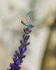 Butterfly and lavender (Stei&Helvi) Tags: insect insecte sony alpha macro nature faune wildlife flore flora garden lavender bee wasp butterfly papillon guêpe abeille jardin