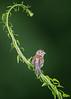 The Field Sparrow (Kitty Kono) Tags: fieldsparrow kittyrileykono valleyforge sparrow bird