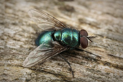 The Humble fly (Jacko 999) Tags: fly diptera canon 5dsr mpe65mm 15x macro lens mt24ex twin lite flash custom built diffusers iso 200 f110 180 sec iso200 65mm robert eede new romney kent
