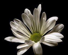 Single White Daisy 1213 (Tjerger) Tags: nature flower bloom blooming daisy plant natural flora floral blackbackground portrait beautiful beauty black green fall wisconsin macro closeup white single