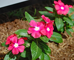 Vinca Plants. (dccradio) Tags: lumberton nc northcarolina robesoncounty outdoor outdoors outside nature natural greenery plant leaf leaves flower floral flowers pink pinkflower pinkflowers vinca vincaflowers flowerbed flowergarden gardening godshandiwork pretty beauty beautiful nikon d40dslr