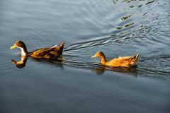 _MG_4031a (Rick_Moeller) Tags: nature wildlife birds stferdinandpark florissant missouri mo outdoors ducks