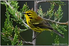 Prairie Warbler (RKop) Tags: eastforklake warblers ohio raphaelkopanphotography d500 nikkor600f4evr 14xtciii warbler wildlife