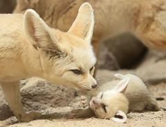 Fennec artis JN6A4849 (j.a.kok) Tags: fox vos woestijnvos dessertfox fennek fennecfoxfennecuszerdavulpeszerdavulpes artis animal mammal zoogdier dier predator africa afrika