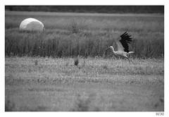Taking off (Aljaž Anžič Tuna) Tags: stork bird taking off barje ljubljana marshes bog slovenia flying photo365 project365 portrait portraitunlimited o onephotoaday onceaday 365 35mm 365challenge 365project nikond800 nikkor nice naturallight nature nikon nikon105mmf28 105mmf28 f28 d800 dailyphoto day bw blackandwhite black white blackwhite beautiful