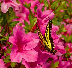 Butterfly (F0t0graphy) Tags: butterfly flower yellow magenta nikkor nikon victoria canada britishcolumbia