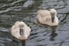 Pow Burn Cygnets - day 4 (Dougie Edmond) Tags: monkton scotland unitedkingdom gb bird swan mute cygnets nature wildlife