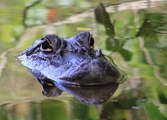 American alligator (Alligator mississippiensis) (im2fast4u2c) Tags: american alligator mississippiensis