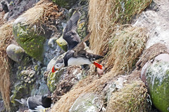 Flying Puffin !! (eric robb niven) Tags: ericrobbniven scotland puffins wildlife wildbird nature scottish fowlsheugh springwatch