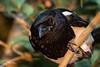 Eurasian magpie (Jaap Mechielsen) Tags: bird ekster kraaienengaaien fauna animal corvidae dier elster eurasianmagpie euraziatischeekster gewoneekster picapica vogel