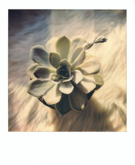 Succulent, April 2018 (Paolo Della Ciana) Tags: polaroidoriginals polaroid impossibleproject instantphoto polaroidisnotdead polaroiders polaroidersitalia analogcamera analog analogphotography sx70 filmphotography makerealphoto impossiblehq ishootfilm polavoid thepolavoid squaremag polaroidoftheday createoriginals shootfilm useinstantfilm expolaroid expolaroidgallery ifyouleave photocollective hylasmag polazine openpaolospace succulent