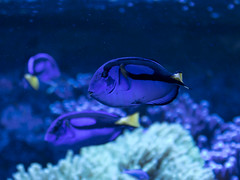 Blue tangs at the National Museum of Natural History (dckellyphoto) Tags: bluestblue blueazul smithsonian nationalmuseumofnaturalhistory washingtondc districtofcolumbia naturalhistorymuseum 2018 science washington