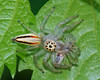 Two-striped Jumping Spider (mishko2007) Tags: spiders korea 105mmf28 telamoniadimidiata