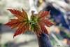 180521-06 Petite feuille deviendra grande (clamato39) Tags: leafs feuilles érable mapleleaf parclessaules provincedequébec québec canada nature macro quebec