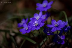 Vernal Violets (Ananya Saha) Tags: canon vernal violets violaceae family viola petals beautiful blooming small bloom long leaves white black yellow green floral nature flora flowers macro