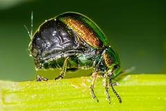 Stuffed! (Shane Jones) Tags: dockbeetle stuffed beetle insect wildlife nature nikon d7200 tamron180mmmacro pk3extensiontube pk3x2 macro macrolife macrophotosnolimits macrolicious
