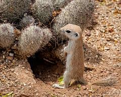 On Alert (John C. House) Tags: everydaymiracles nik nikon desert closeup johnchouse cactus arizona groundsquirrel phoenix d700