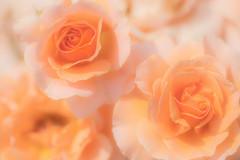 Sweet dreams (Masa_N) Tags: garden bokeh plant macro flower afternoon roses spring tokyo japan 調布市 東京都 日本 jp