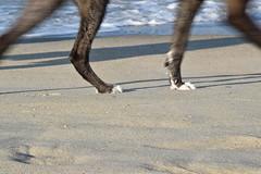 Walking (meg21210) Tags: dog sand ocean atlantic beach walking legs kittyhawk obx outerbanks nc northcarolina paws footprints surf water wave
